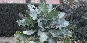 180411 Spruitbroccoli brassica