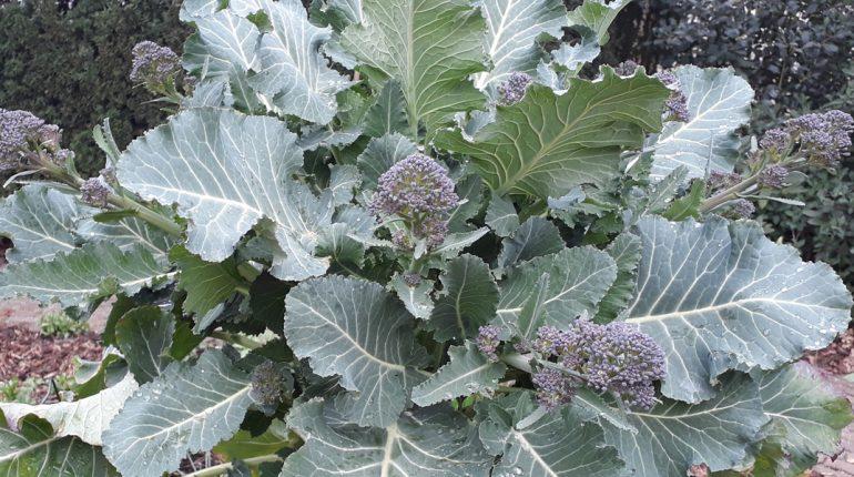 180411 Spruitbroccoli