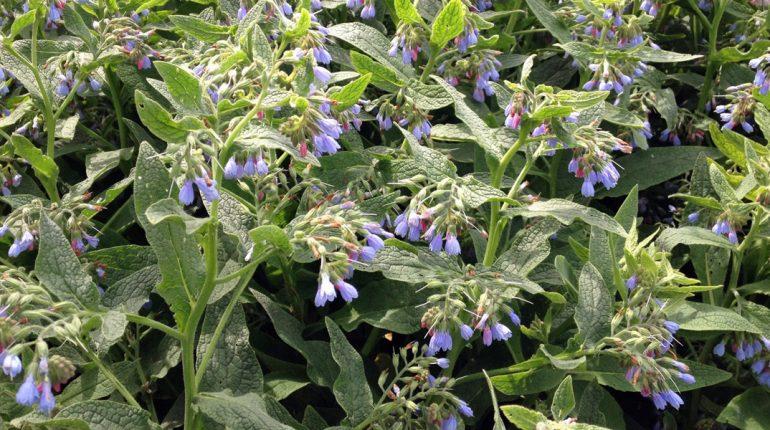 180501 Smeerwortel bloeiend