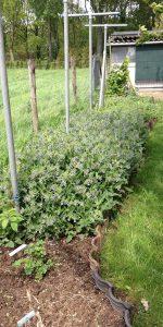 180501 Smeerwortel bloeiend 3