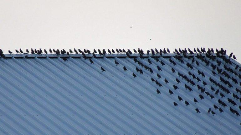 171023 Spreeuwen op golfplaten dak vogeltrek