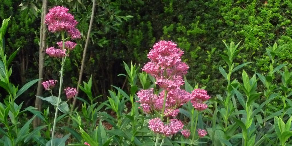 180527 Spoorbloem Centranthus ruber