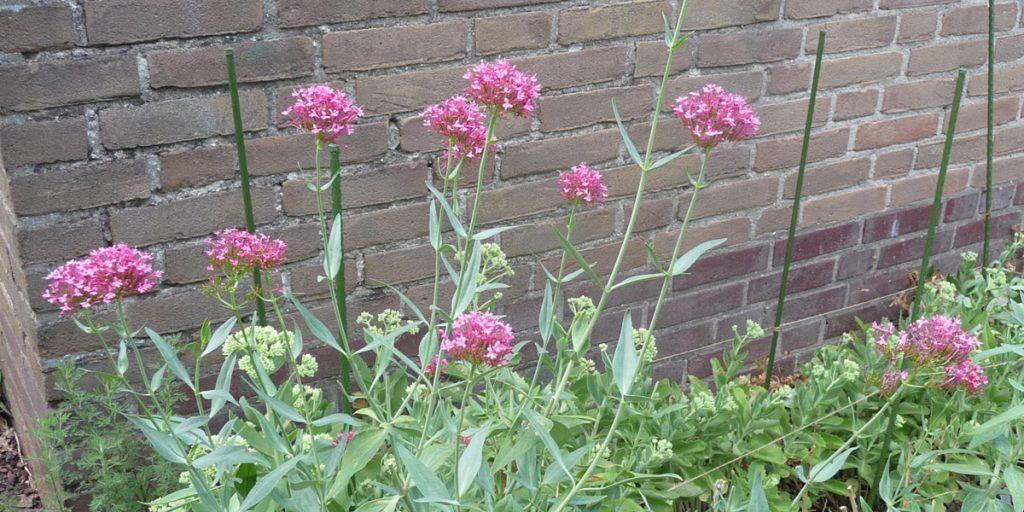 180730 Spoorbloem Centranthus ruber bij droogte
