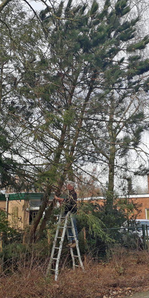 Scheefgezakte Pinus nigra wordt gerooid