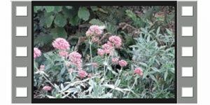 Kolibrievlinder houdt van spoorbloem