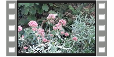 180918 Centranthus ruber still uit video