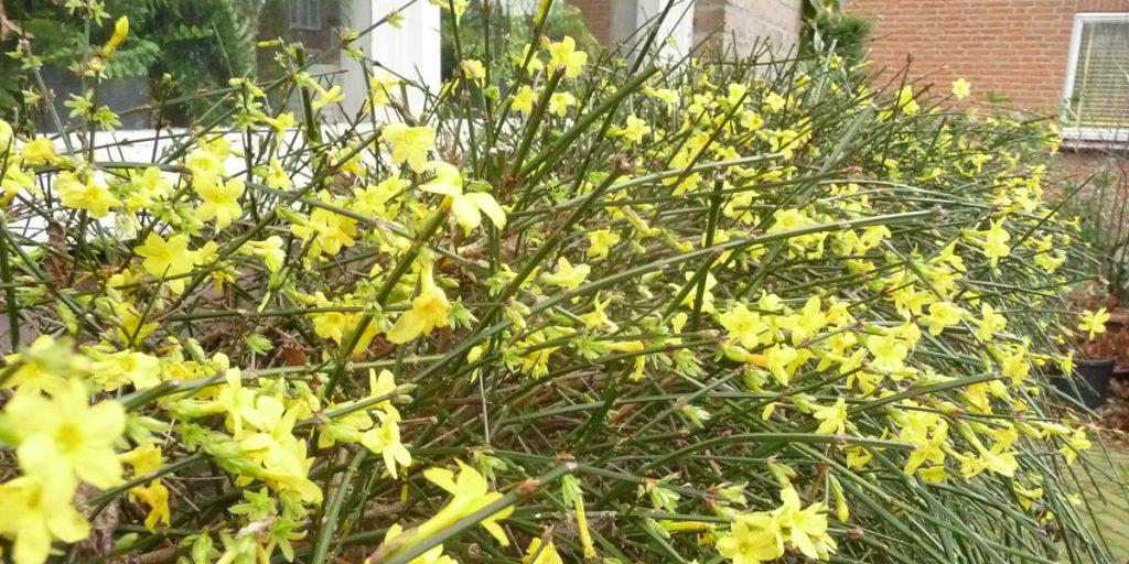 181223 Jasminum nudiflorum Winterjasmijn