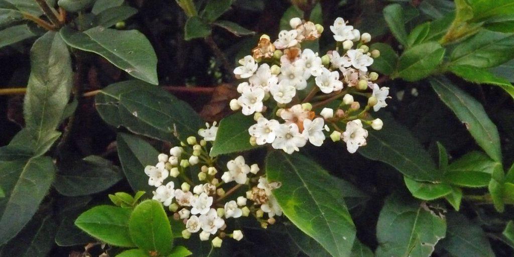 181225 Viburnum tinus