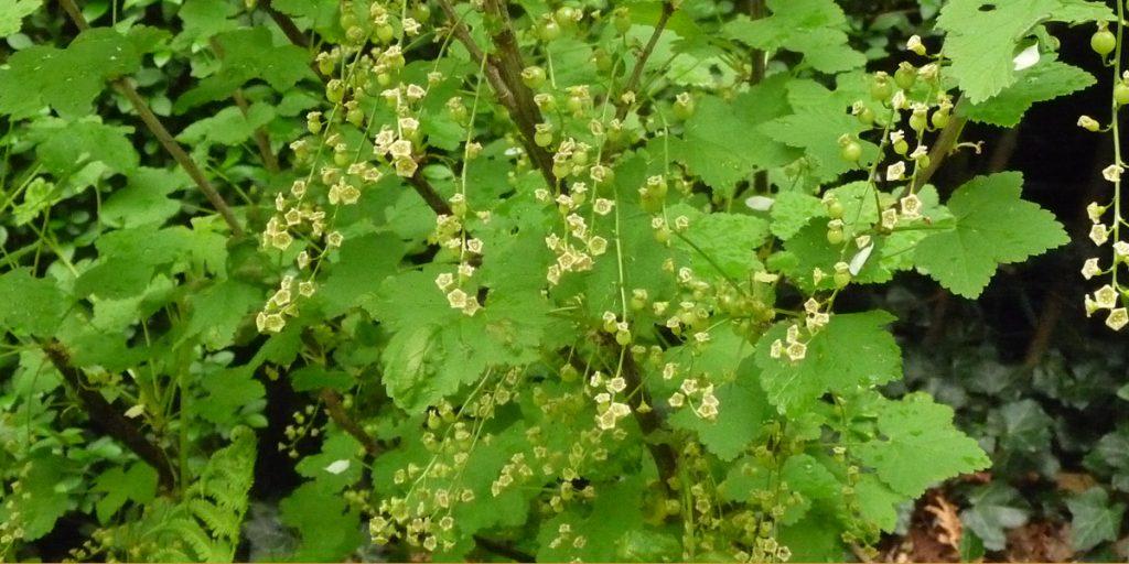 Rode bes bloeiend,een typische plant uit de struiklaag van een voedselbos