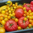Tomatenoogst van Hans