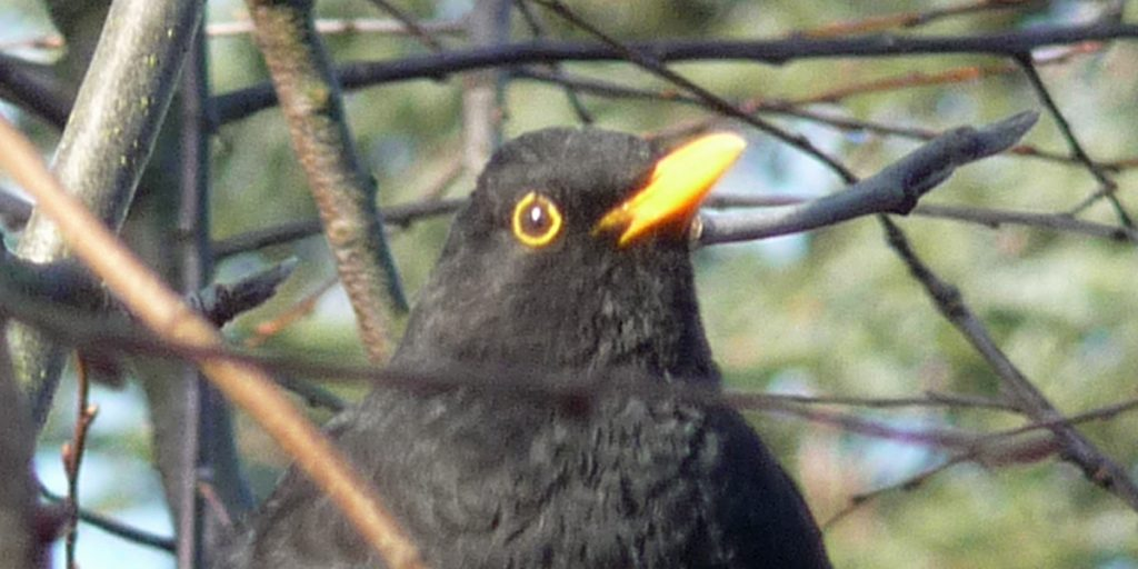 Blackbird male close up Mannetje merel