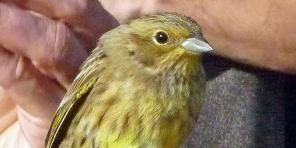 Yellowhammer female close up Geelgors vrouw Vlieland