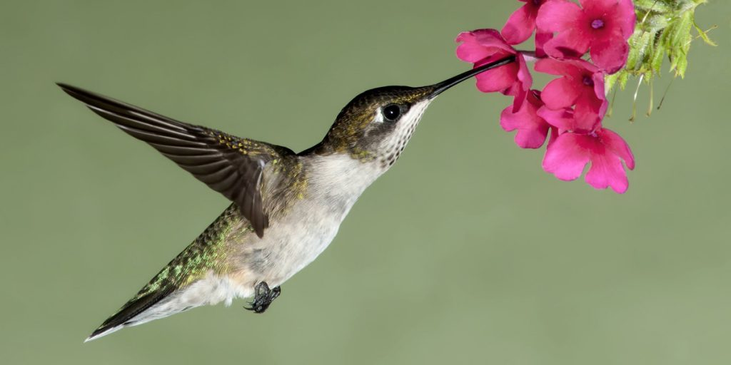 Hummingbird or kolibrie eating nectar