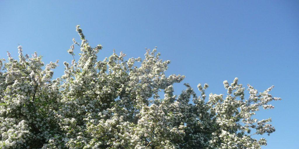 Boom vol bloesem, tegen de achtergrond van knalblauwe lucht