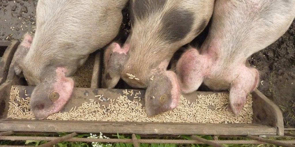 Pigs eating