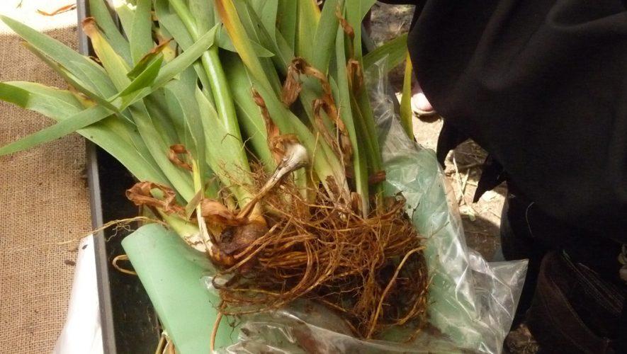 Iris germanica wortelstokken