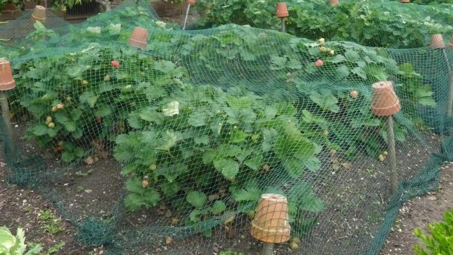 Aardbeien met net