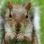 Grijze eekhoorn Sciurus carolinensis een invasieve exoot