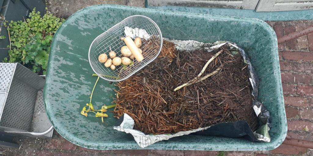 Harvesting potato Monalisa, grown in bag with straw