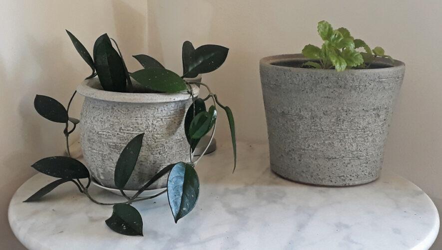 Hoya kamerplant in pot